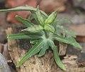 Eranthis pinnatifida (fruits).jpg