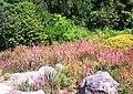 Erica verticillata bed in Cape Town garden 7.JPG