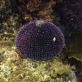 Erizo de mar violáceo (Sphaerechinus granularis), Parque natural de la Arrábida, Portugal, 2020-07-31, DD 15.jpg