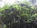 Erythropalum acuminatum-1-chemungi-kerala-India.jpg