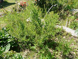 some tarragon cultivated in a garden.