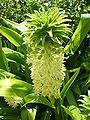 Eucomis autumnalis flower.jpg