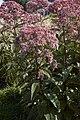 Eupatorium maculatum A.jpg