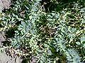Euphorbia amygdaloides3.jpg