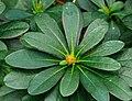 Euphorbia amygdaloides var. robbiae. Locatie Jonkersvallei 03.jpg