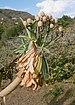 Euphorbia bravoana - Jardín Botánico Canario Viera y Clavijo - Gran Canaria 002.JPG