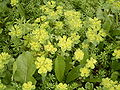 Euphorbia helioscopia (Barlovento) 03.jpg
