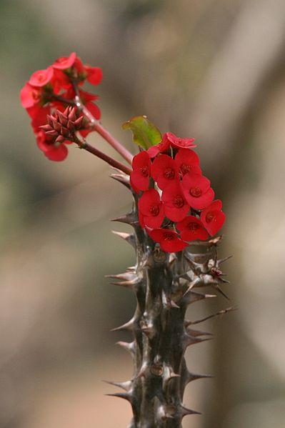 File:Euphorbia milii (1).jpg