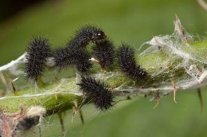 Marsh fritillary - Young caterpillars