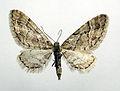 Eupithecia lanceata.jpg