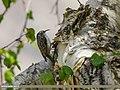 Eurasian Treecreeper (Certhia familiaris) (35000921755).jpg