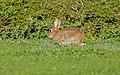 European Rabbit (Oryctolagus cuniculus) (17037712408).jpg