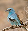 European Roller (Coracias garrulus) in the wind ... (35664626792).jpg