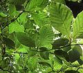 European beech leaves (Fagus sylvatica) in Humlamaden 1518.jpg
