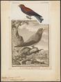 Eurystomus glaucurus - 1845-1863 - Print - Iconographia Zoologica - Special Collections University of Amsterdam - UBA01 IZ16700255.tif