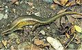 Eutropis multifasciata from Barangay Dibuluan, San Mariano - ZooKeys-266-001-g059.jpg