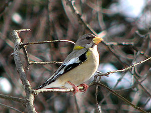"Grosbeak - This female evening grosbeak (Hesperiphona vespertina) is considered to be a ""typical"" grosbeak."