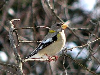 "Grosbeak - This female evening grosbeak (Hesperiphona vespertina) is considered to be a ""typical"" grosbeak."