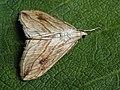 Evergestis forficalis - Garden pebble - Луговая огнёвка хреновая (40126837824).jpg