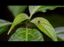 Arquivo: Extravagant-female-sexual-display-in-a-Megaselia-Rondani-species- (Diptera-Phoridae) -biodiversity data journal-3-e4368-g004.ogv