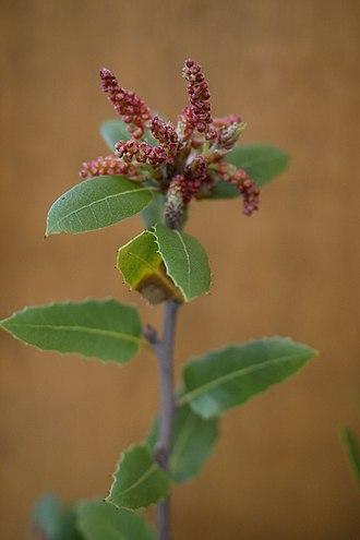 Fagaceae - Image: Fagaceae Interior live oak quercus wislizenii var wislizenii