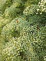 Falcaria vulgaris sl10.jpg