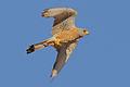 Falco naumanni 2011-07-10 La Cañada.jpg