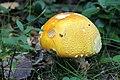 Fall Mushroom (15436271316).jpg