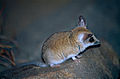 Fat-tailed Dunnart (Sminthopsis crassicaudata) (10001618456).jpg
