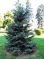 Fat Albert Colorado spruce.jpg