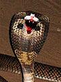 Felis Elapidae Spectre.jpg