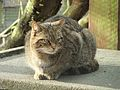 Felis silvestris -Camperdown Wildlife Centre, Dundee, Angus, Scotland-8a.jpg