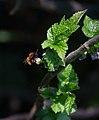 Female Tawny Mining Bee.jpg