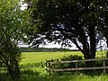 Fenced yew on Clearbury Down - geograph.org.uk - 177593.jpg