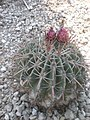 Ferocactus latispinus 1c.JPG
