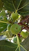 Ficus carica - Leaves and immature figs.jpg
