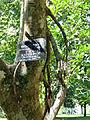 Ficus krishnae-Jardin botanique de Kandy (1).jpg