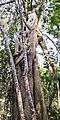 Ficus maclellandii - Habitus.jpg