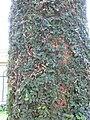 Ficus pumila 2.jpg