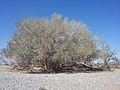 Ficus sycomorus subsp gnaphalocarpa00.jpg