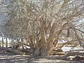 Ficus sycomorus subsp gnaphalocarpa04.jpg