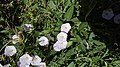 Field bindweed 003.jpg