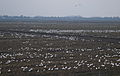 Field of Snow Geese.jpg