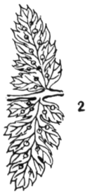 Fig 2 Dryopteris spinulosa intermedia.png