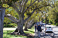 Figs on the Barrack Street edge of Alf Curlewis Gardens - Perth.jpg