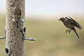 Finches - Rutland Water March 2010 (4451715318).jpg