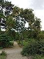 Firmiana simplex - Jardin des plantes de Paris.jpg