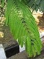 Flamboyant (Delonix regia) leaves 1.jpg