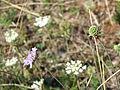 Fleur sauvage et coccinelle.JPG