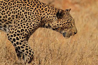Flickr - Rainbirder - Leopard.jpg